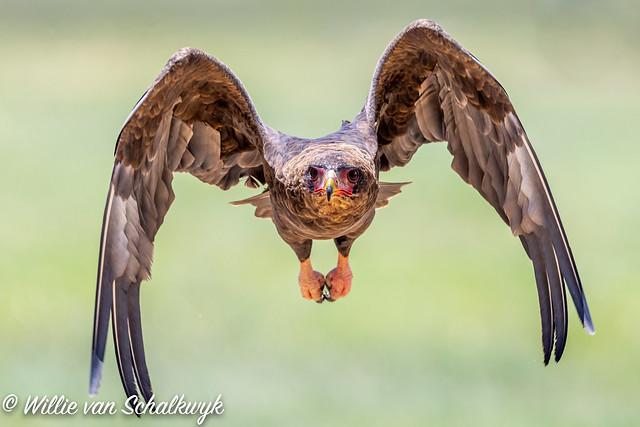Bateleur in flight