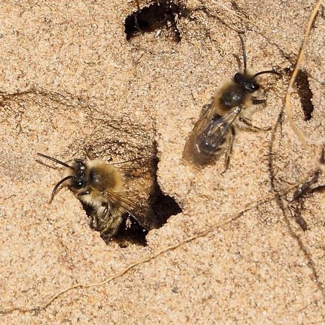 Spring mining bee