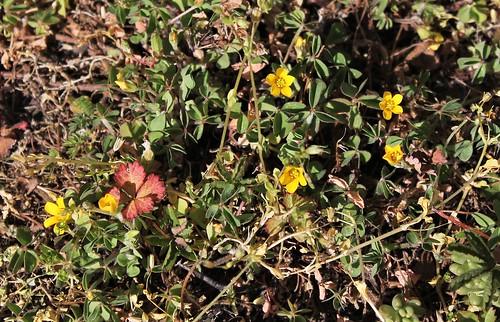 Oxalis corniculata - oxalide corniculée 51091998394_caeaca5721