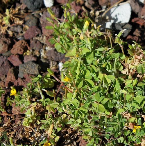 Oxalis corniculata - oxalide corniculée 51091999074_2f174919a8