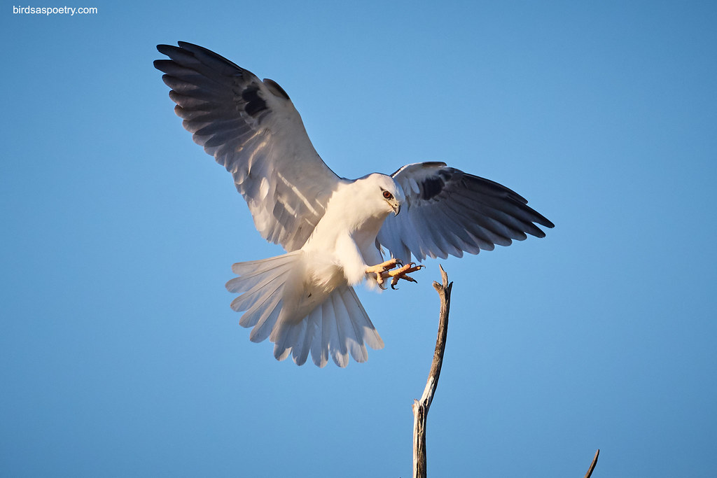 Black-shouldered KIte: Alighting