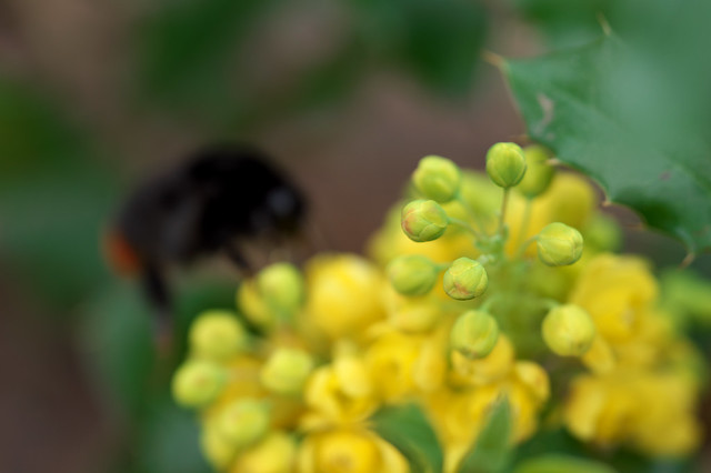 Red-Tailed Bumble Bee Bokeh