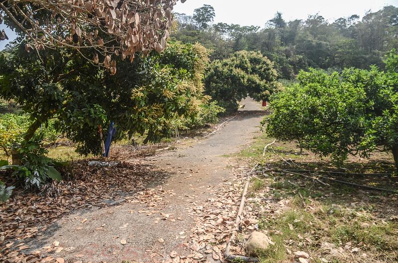 觀音山果園農路