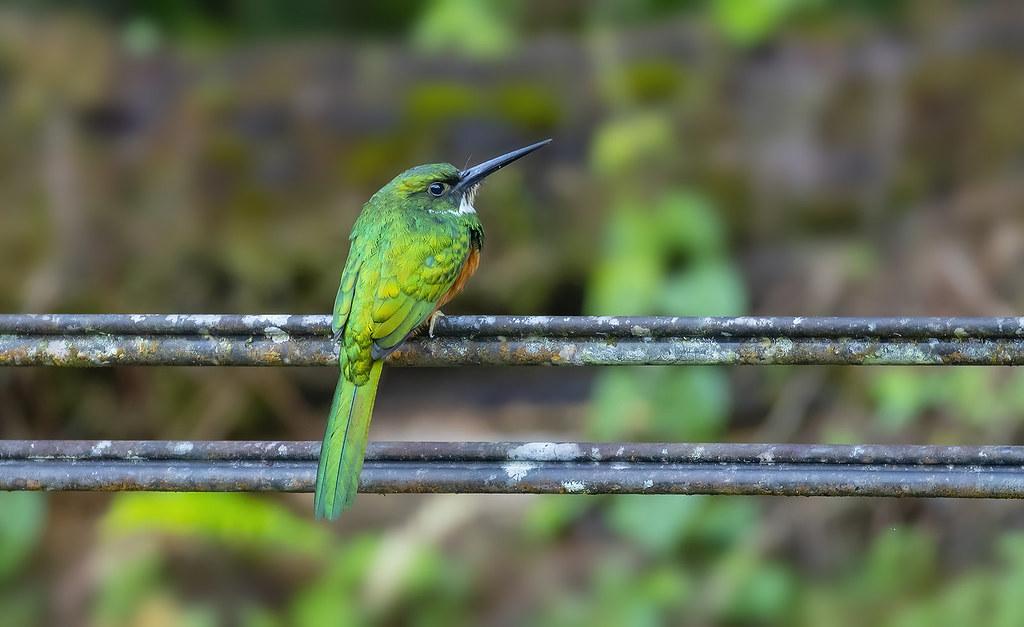 Rufous-tailed Jacamar / Flugugosi (Galbula ruficauda)