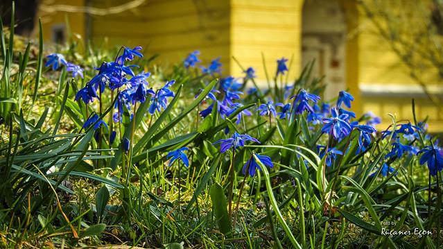 Wenn die Blausternchen blühen