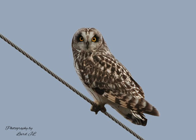 Short-Eared Owl (Asio flameus)