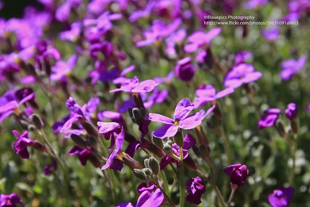 Hohengehren, purple