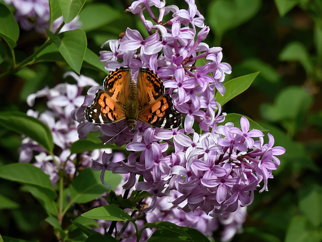 DSCN1541 Painted Lady Butterfly