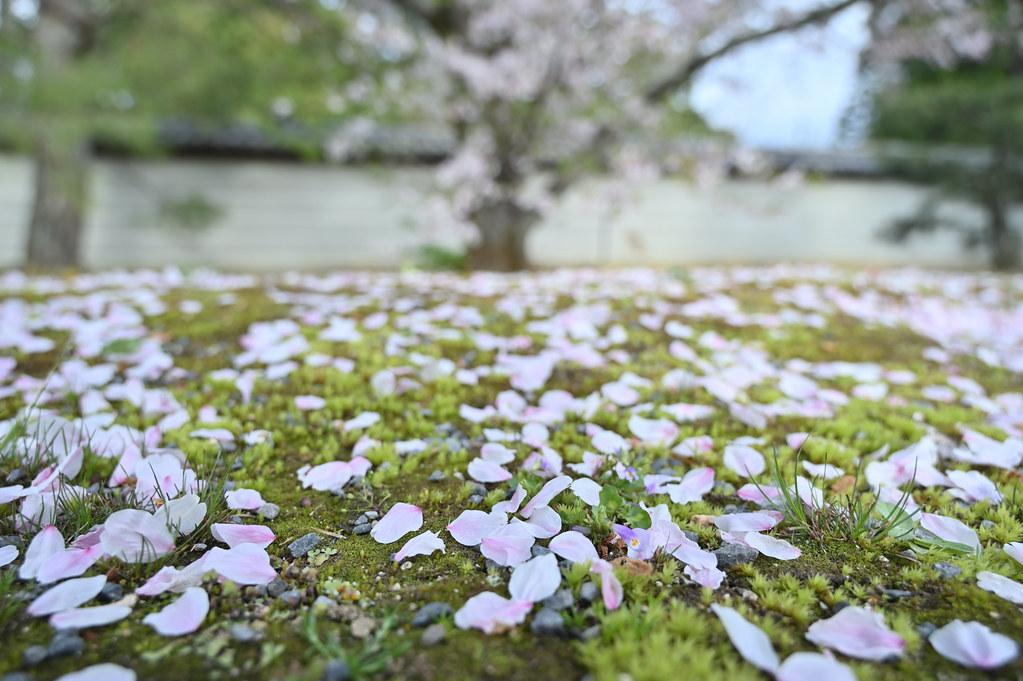 仁和寺の御室花まつり 17