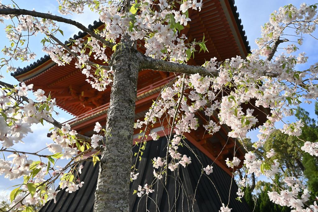仁和寺の御室花まつり 11
