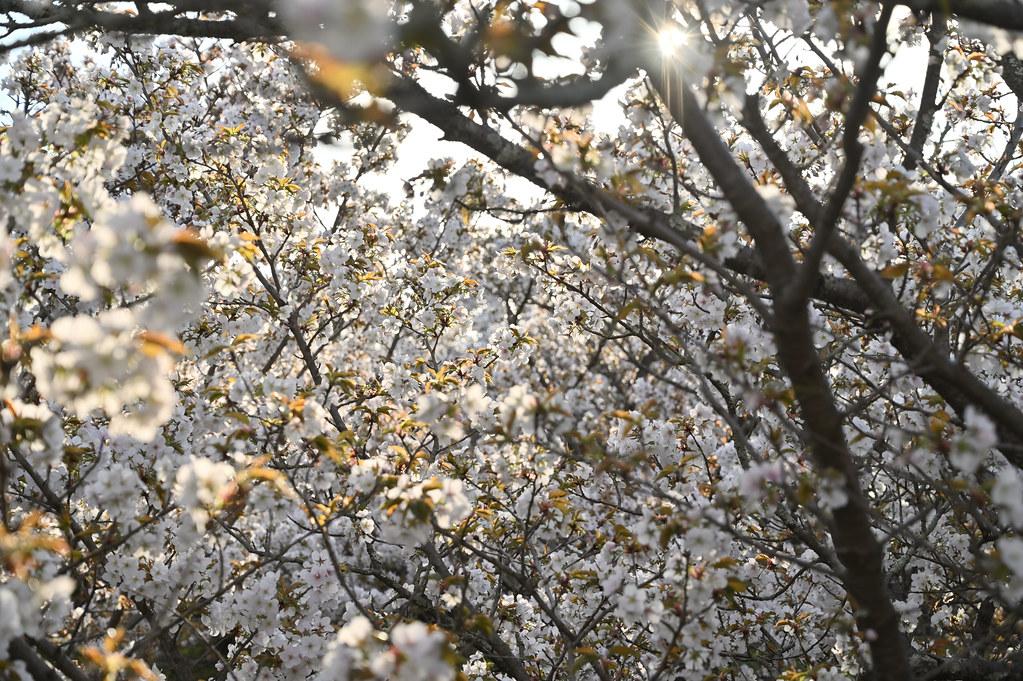 仁和寺の御室花まつり 14