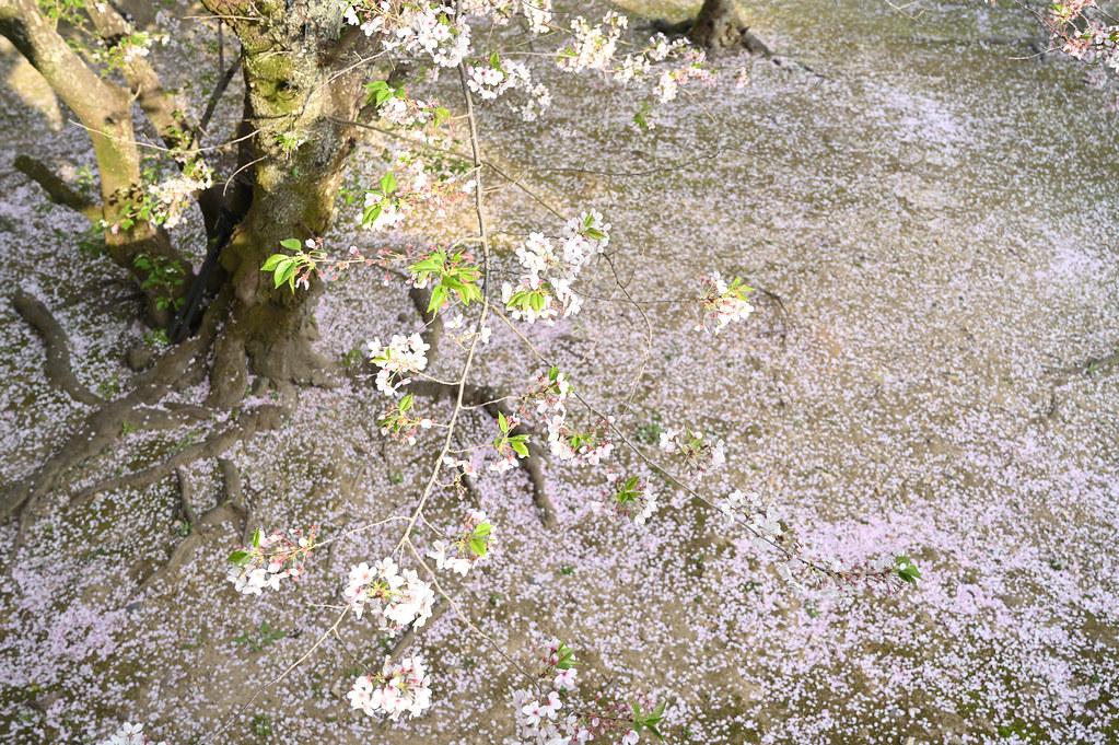 仁和寺の御室花まつり 15