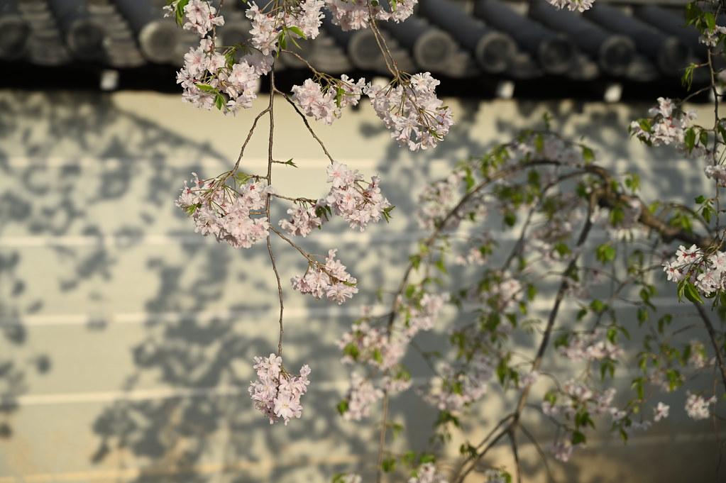 仁和寺の御室花まつり 16