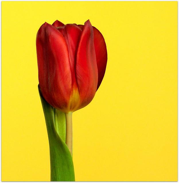 Tulipan * EXPLORE