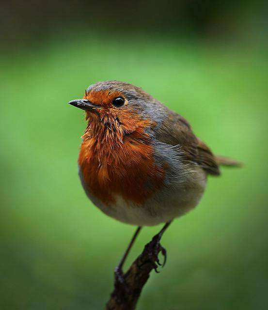 365 - Image 93 - Robin...