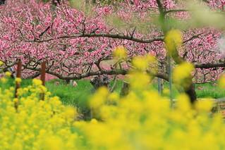 桃, 菜の花