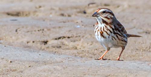 Song Sparrow - Braddock Bay - © David Laiacona - Mar 22, 2021