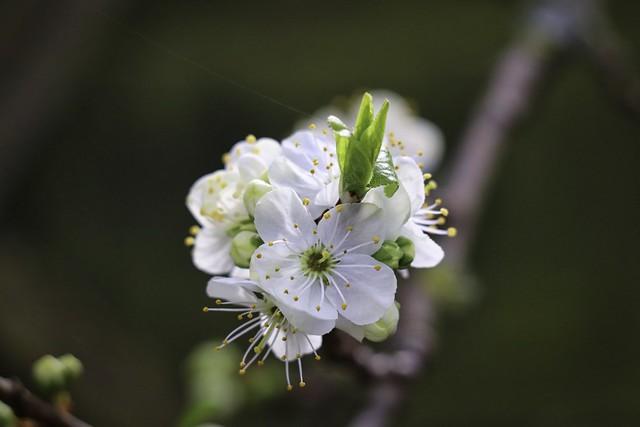 Plum blossom cluster