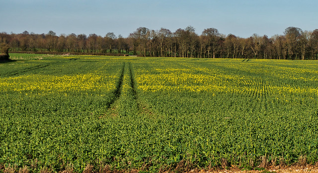 Young crop near Winchester