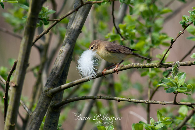 WILLOW-WARBLER-13-5-12-RSPB-TITCHWELL-(2)