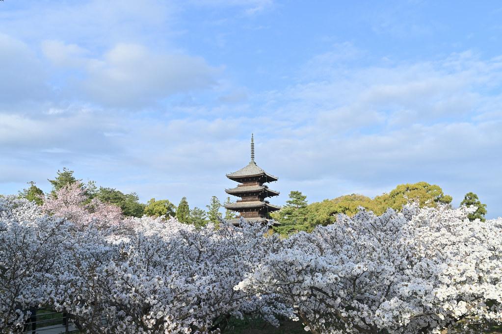 仁和寺の御室花まつり 7