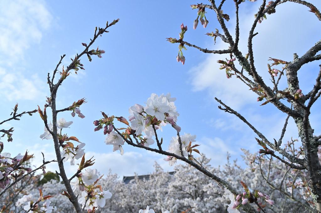 仁和寺の御室花まつり 12