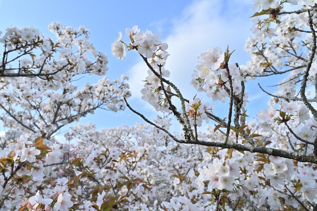 仁和寺の御室花まつり 10