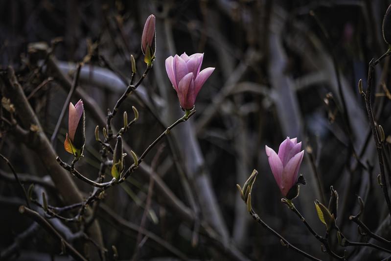 20210403_Magnolias