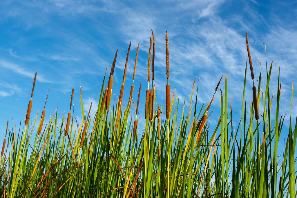 Southern Cattail - Typha domingensis