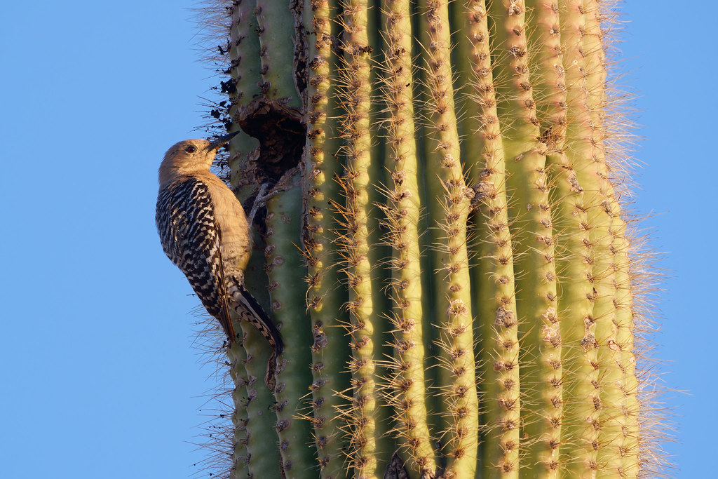 A female woodpecker peeks out of the shadows next to a hole in a saguaro in Scottsdale, Arizona on March 27, 2021. Original: _RAC5766.arw
