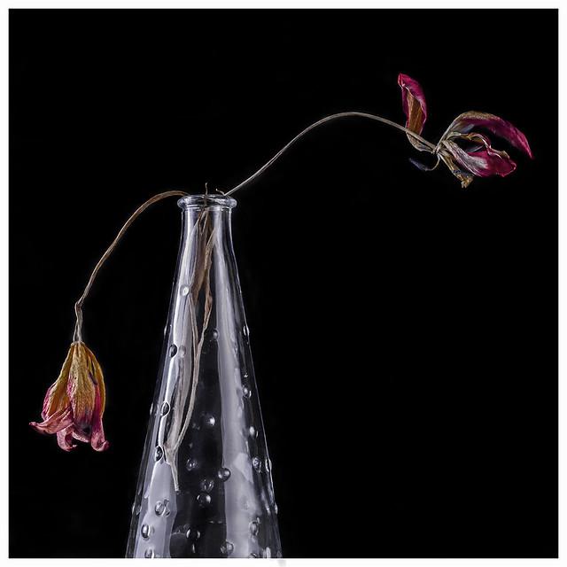 Flowers #32 2021; Dead Tulips