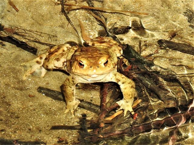 I see you  Common toad  Erdkröte DSCN0547