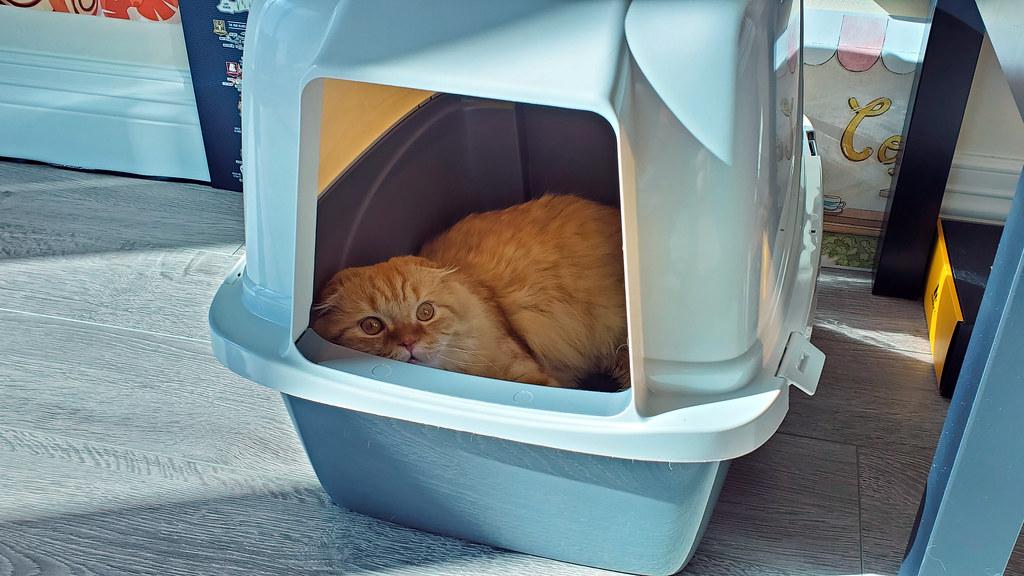 Pumpkin using an empty litter box as a bed