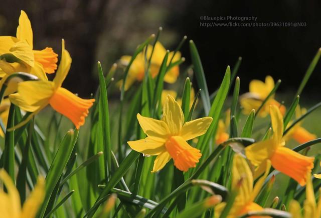 Hohengehren, Narcissus