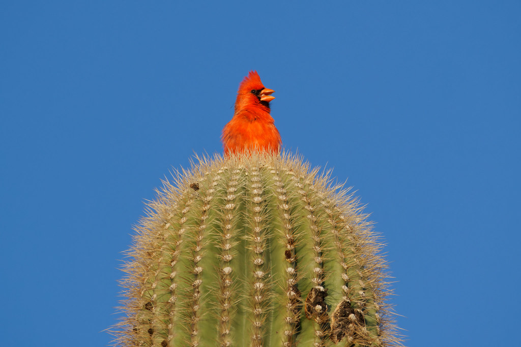 A male northern cardinal sings from the top of a saguaro in Scottsdale, Arizona on March 27, 2021. Original: _RAC5792.arw
