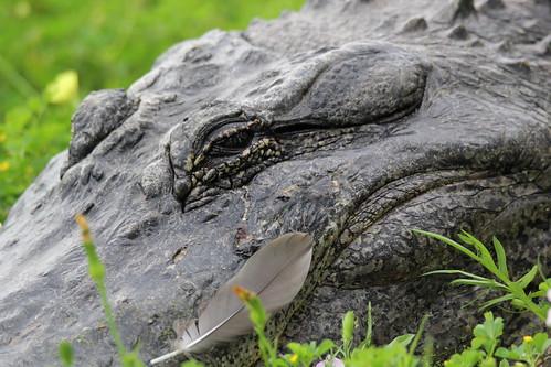 American alligator (Alligator mississippiensis)explored