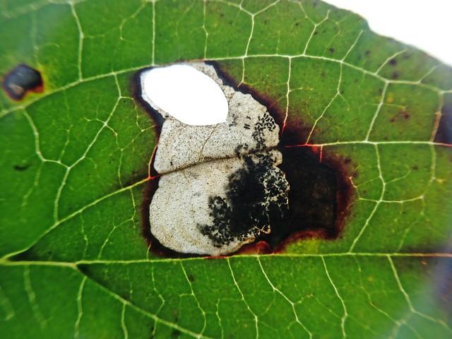 6.002 Antispila petryi, Shipham, Somerset