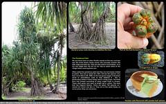 3840 0617 - Pandanus tree