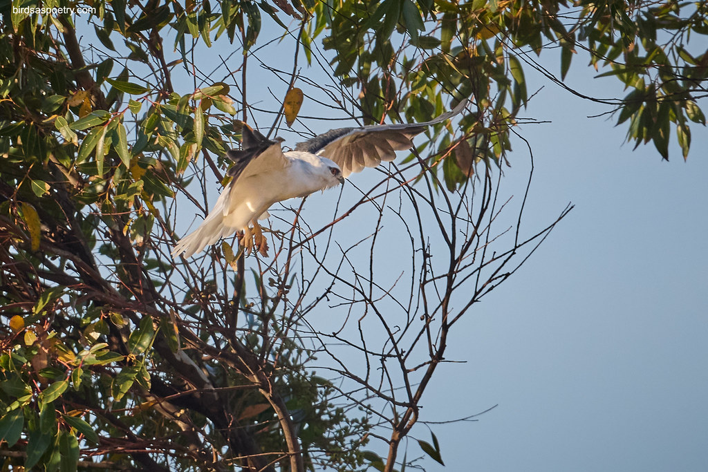 Black-shouldered Kite: Bob the Builder