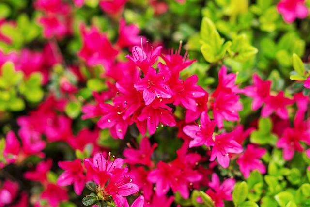 Kirishima Azalea 'Rhododendron obtusum' : キリシマツツジ(霧島躑躅)