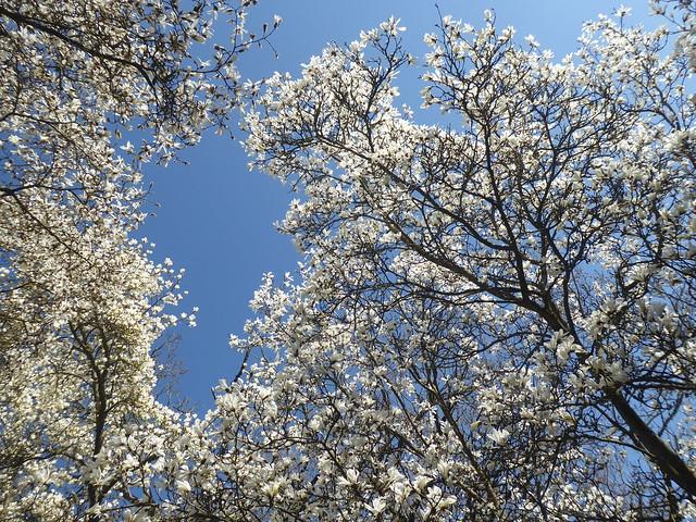 Magnolia, Winkworth Arboretum, Surrey