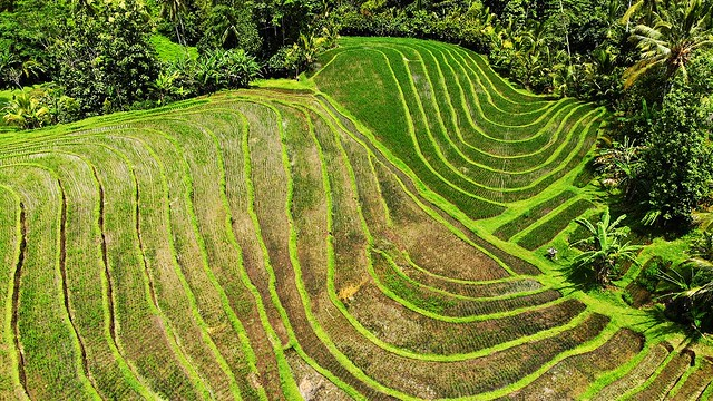 Rice Terraces of West Bali