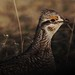 248A4295 sharptail grouse