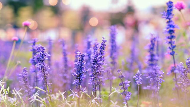 Lavender in Spring