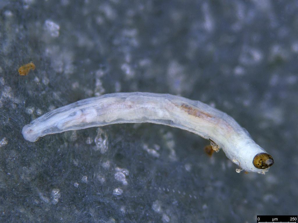 8a - Diptera sp.