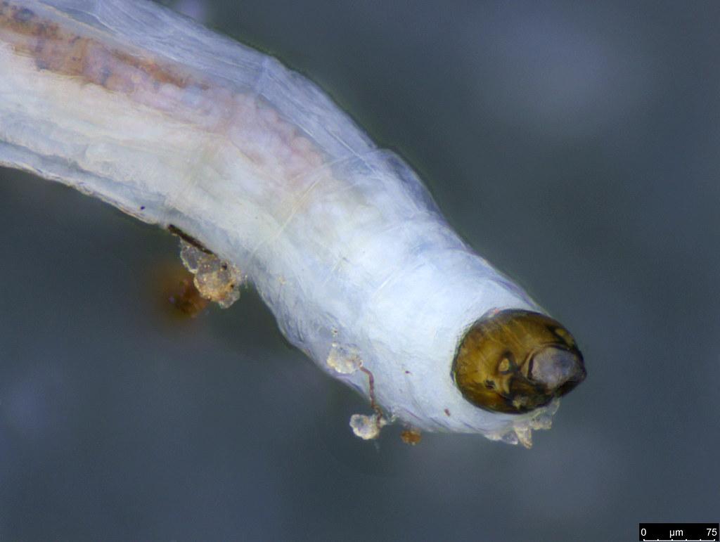 8b - Diptera sp.