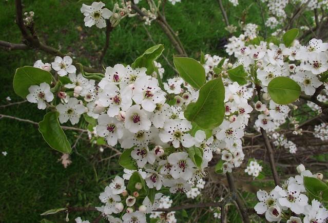 Pyrus communis (Pear), flowers & leaves 1, House Lane, Sandridge, Herts, 3.4.21