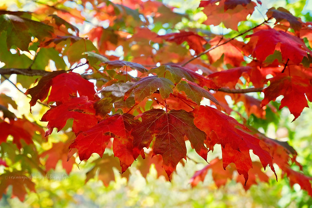 Autumn foliage, Mt Lofty