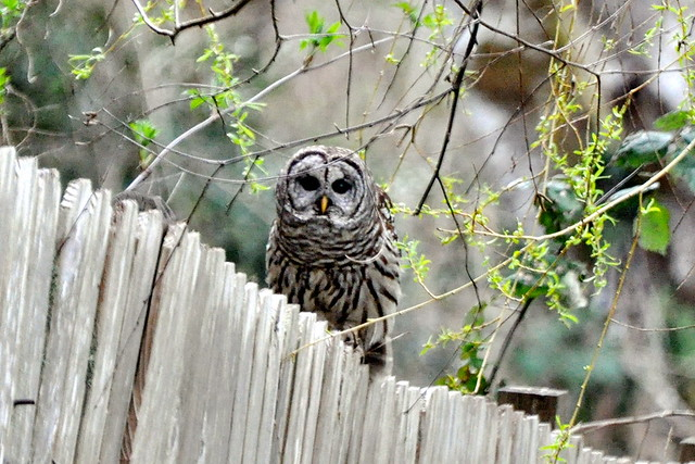 Barred Owl on the back fence