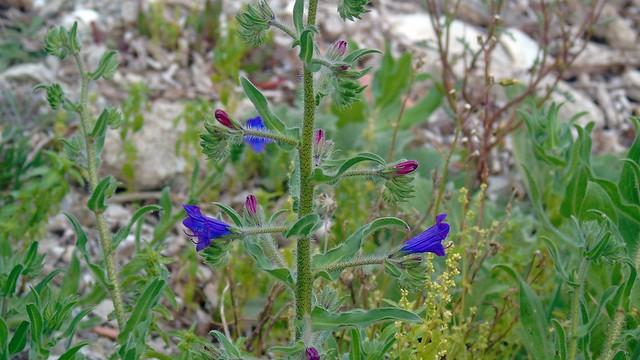 9_Echium plantagineum